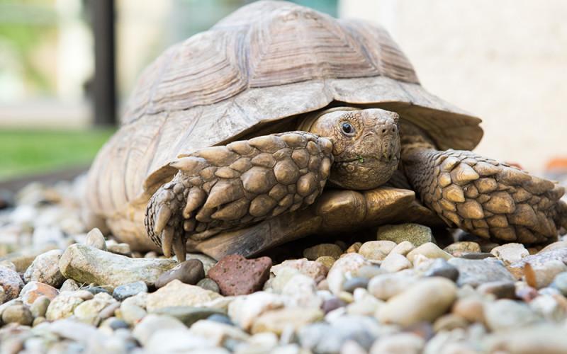 Science Center Tortoise